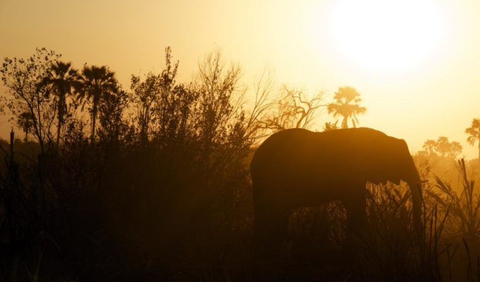 Elefant, Ngamiland East, Botswana