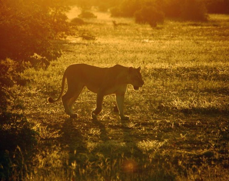 Löwin, Sonnenuntergang, Botswana Rundreise
