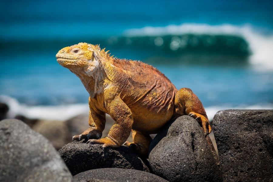 Drusenkopf-Leguan, Galapagos Inseln