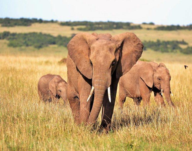 Elefanten, Kenia Rundreise