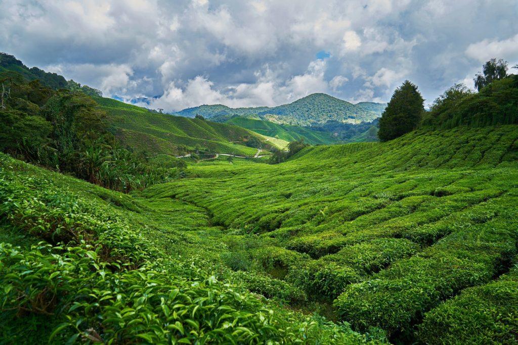 Teeplantage, Malaysia Rundreise