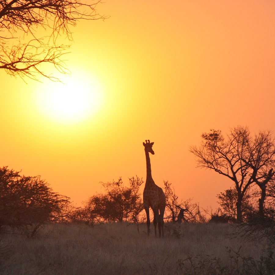 Giraffe, Sonnenuntergang, Sambia Reisen