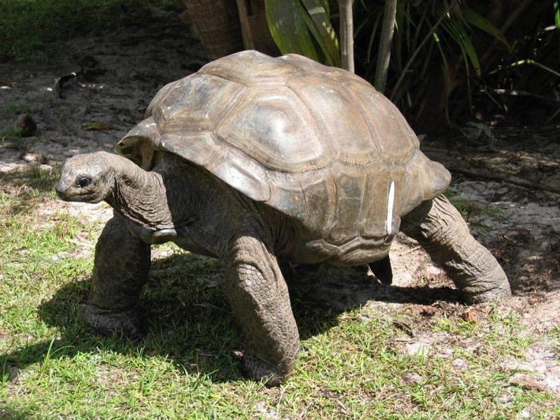 Schildkröte, Seychellen Reisen