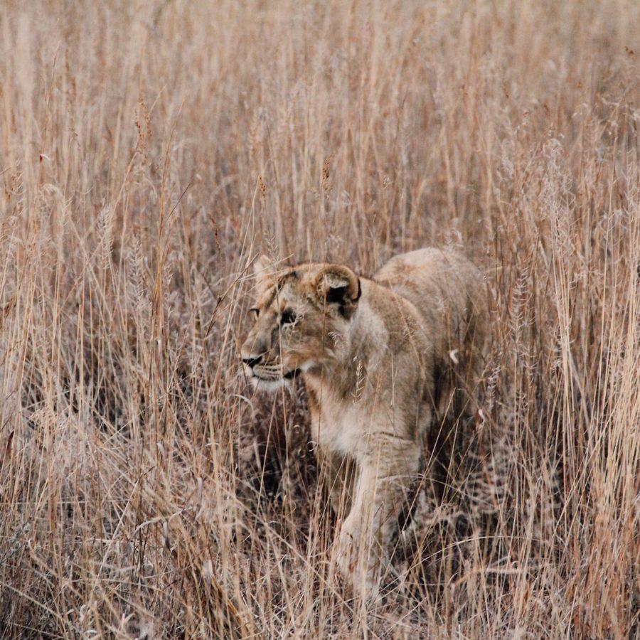 Löwe, Simbabwe Reisen