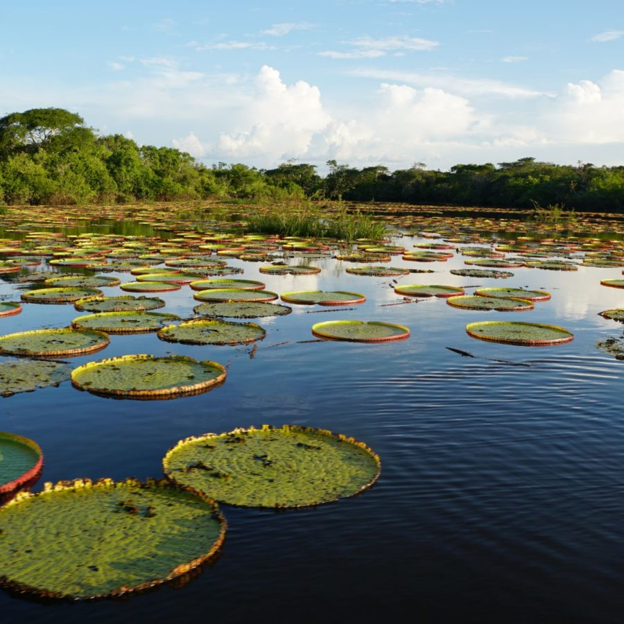 Lilien, Südamerika, Guyana - das Land der vielen Wasser