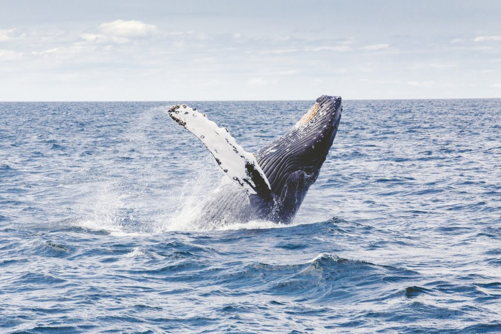 Whale Watching in Europa, Buckelwal