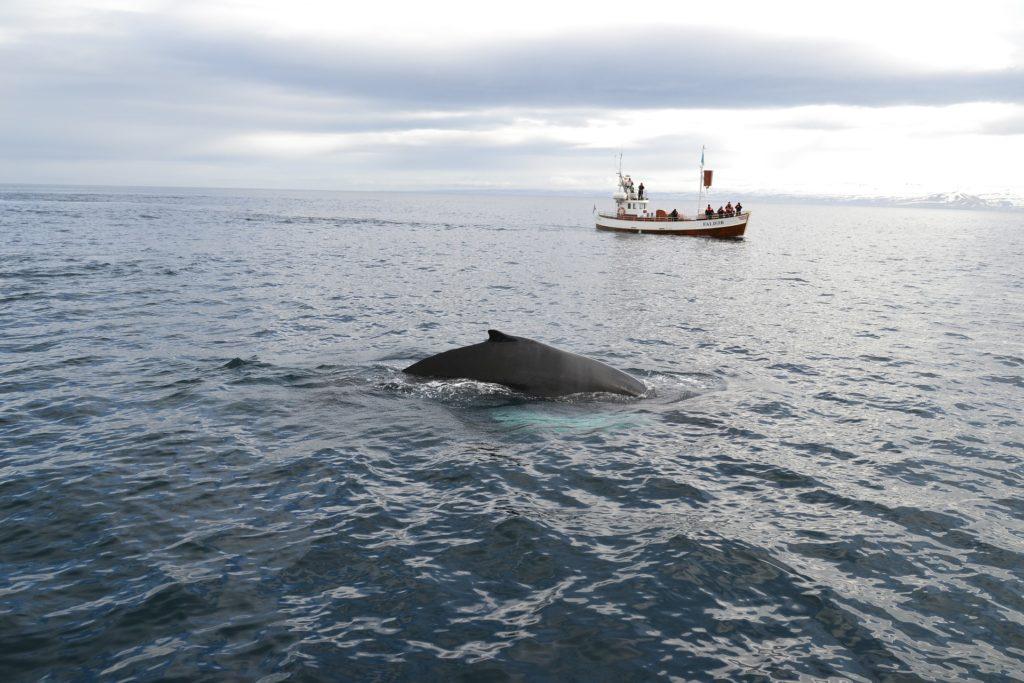 Whale Watching in Europa, Island
