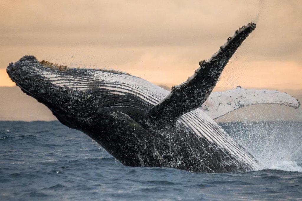 Buckelwal, Whalewatching New York