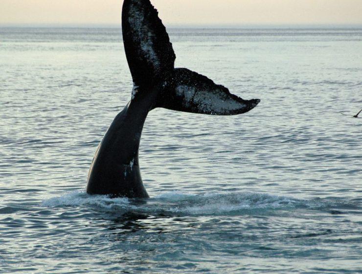 Wal, Whalewatching New York