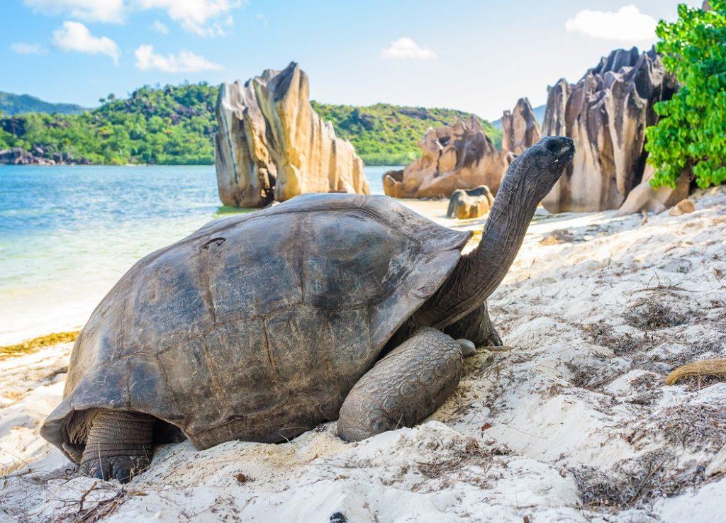 Riesenschildkröte auf Mahé